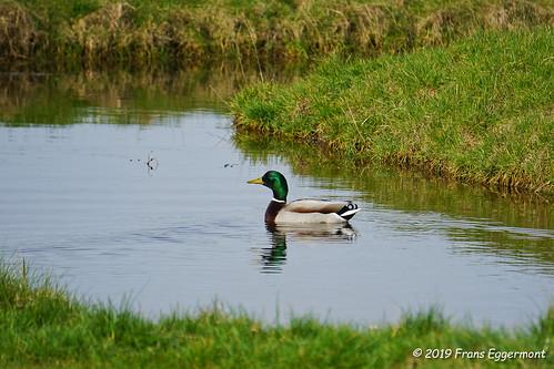 DSC04515 - Wilde eend ( Anas platyrhynchos ) - The Mallard
