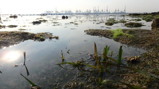 Tape seagrass (Enhalus acoroides) cropped