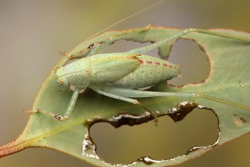 Katydid nymph (Caedicia sp?)