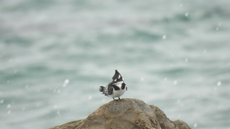 Малый пегий зимородок - Pied Kingfisher - פרפור עקוד (самка)