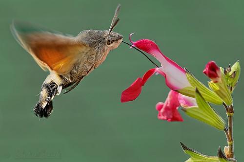 Macroglossum stellatarum - Moro-sphinx - Sphinx colibri
