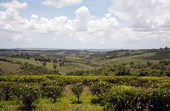 Tea plantation, Mufindi Highlands in Tanzania