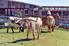 Longhorn Cattle, Fort Worth Stockyards