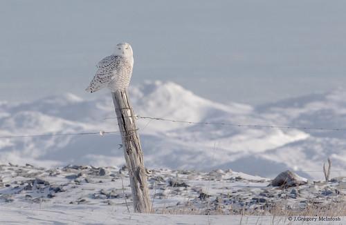 Snow Owl and Post on Frozen Shoreline of Lake Ontario