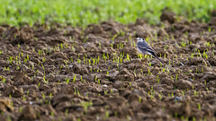White Wagtail - Photo of Fontaine-Uterte
