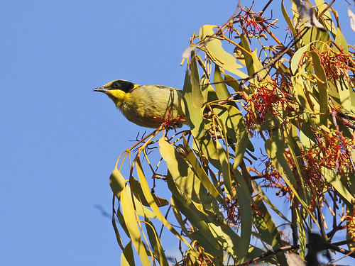 Yellow-tufted Honeyeater in Mistletoe N B) | by Friends of Chiltern Mt Pilot National Park
