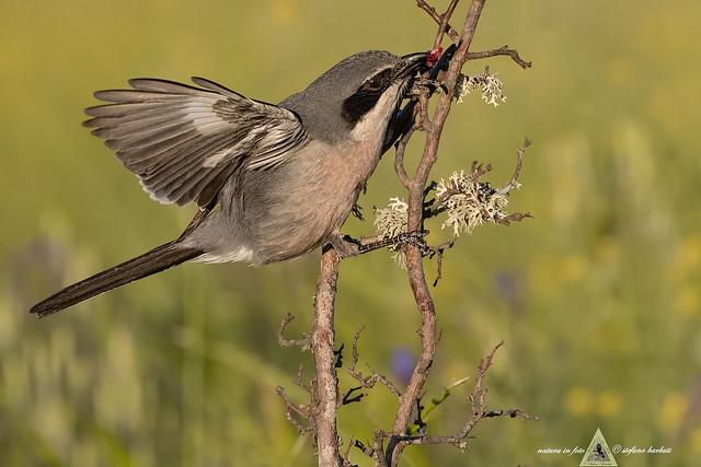 Averla meridionale - Lanus excubitor