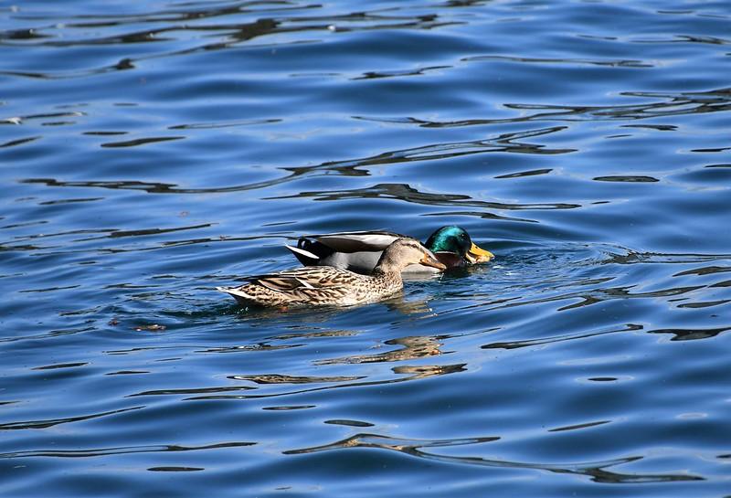 Ducks 26.03 (3)