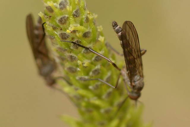 Dance Flies (Empididae) on willow catkins - showing rear end