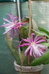 """Epiphyllum """"Frühlingspracht"""""""
