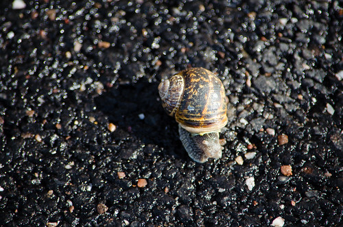 Snail crossing a road