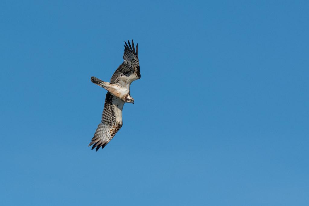Osprey - Águia-pesqueira - Pandion haliaetus