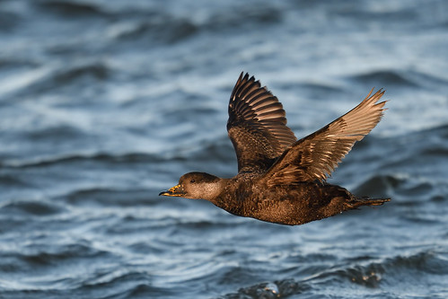 Scoter in flight