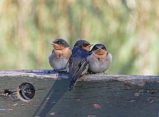 Welcome Swallows (fledglings), Glen Iris Wetlands, Victoria, Australia