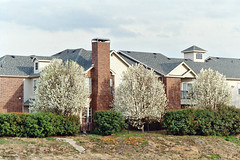 Bradford Pears in Bloom at Apartment Complex