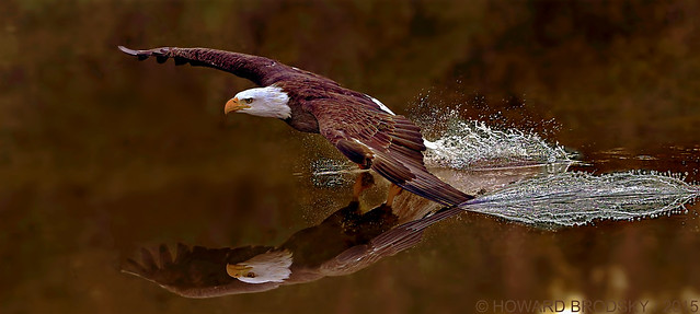 Bald Eagle with  Rembrandt hues ...For Alfred.