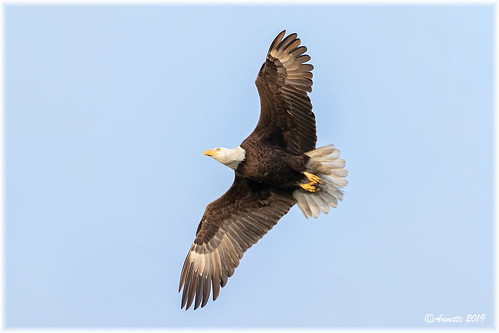 Bald Eagle__11A4041