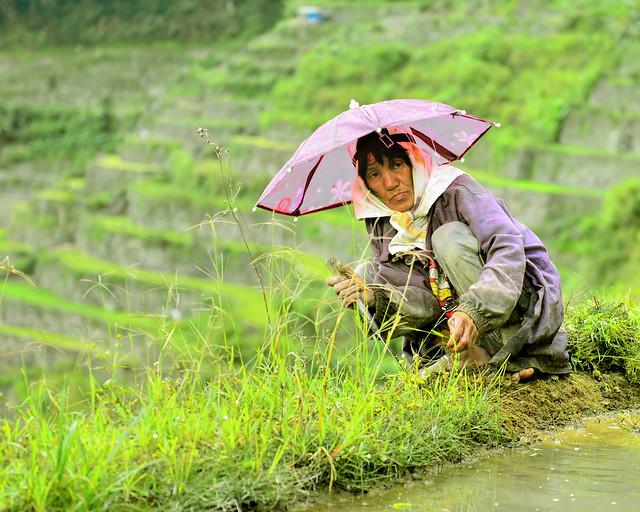 Campesinos de Batad cultivando el arroz