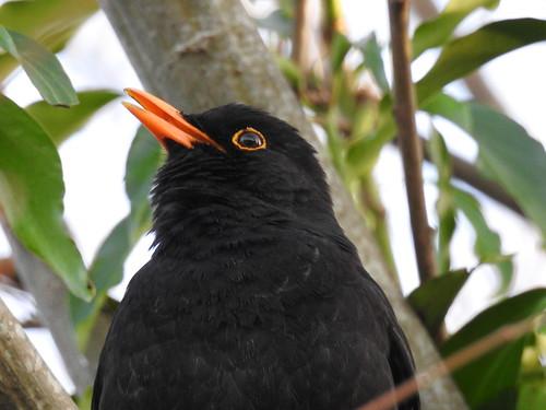 MR BLACKBIRD SINGS