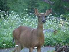 deer in Mount Rainer