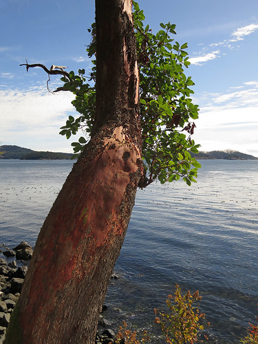 Arbutus Tree at East Sooke Park on Vancouver Island, Canada