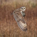 Short Eared owl inflght by cogs2011