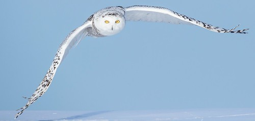 Recently I visit Quebec Province and I had the great privilege to be around Snowyowl for a few days.Magnificient experience. Adult female , Quebec.Panoramic crop in order to amplifies the majestic wingspan of these birds.