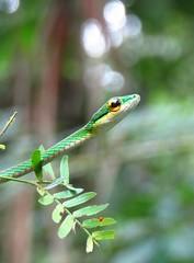 Eastern parrot snake