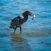 Reddish Egret por pringlecliff