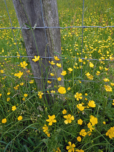 Buttercup flowers crowd a wire fence Mountain climber on our Malham walk in the Yorkshire Dales of England
