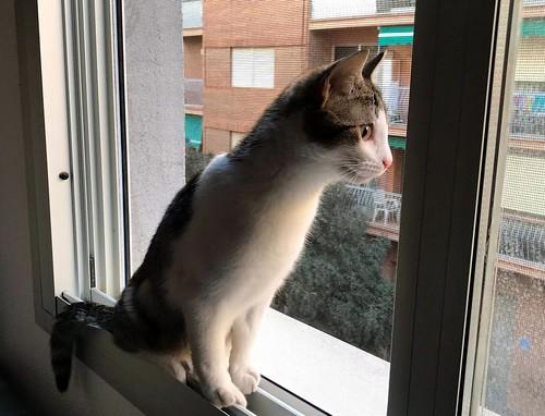 Lara, gatita blanquiparda dulcísima y confiada, nacida en Septiembre´18, en adopción. Valencia. ADOPTADA. 40410976693_7dab160723