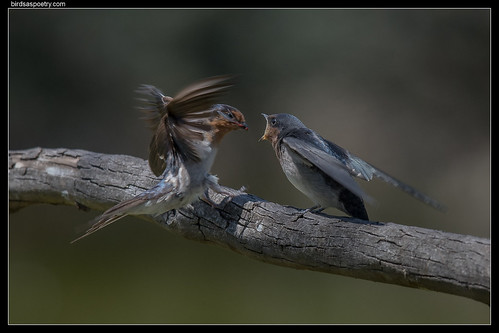 Welcome Swallow: Feed Me!