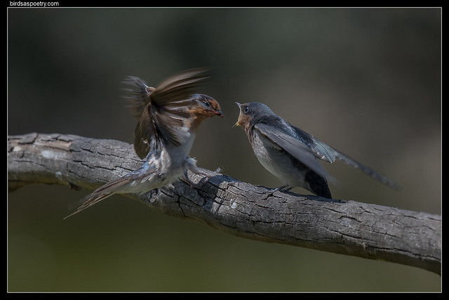 Welcome Swallow: Feed Me!, Nikon D500, AF-S Nikkor 300mm f/4E PF ED VR