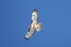 Identification of Individual Red-Tailed Hawk, Photo 2 of 3