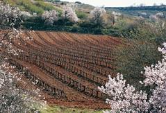 Esta tierra es Aragón: almendros, viñedos, olivos...