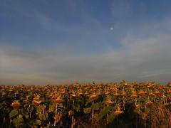 20080917 38468 1018 Jakobus Sonneblumenfeld Mond - Photo of Sainte-Alauzie