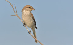 Red-backed Shrike (Lanius collurio).