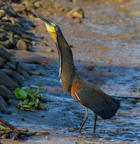 Bare-throated Tiger Heron - male