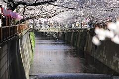 目黒川の桜2019