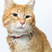A217917 -- Gilbert -- Orange cat-2