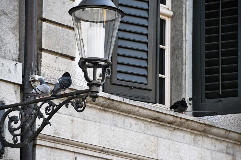 Pigeons 23.02 (5)