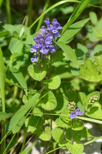 タツナミソウ/Scutellaria indica