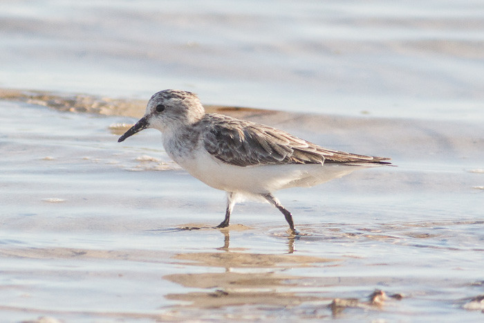 Red-necked Stint - maybe