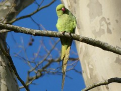 Perruche à collier - Rose-ringed parakeet