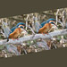 Kingfisher Coughing up A Pellet by Blue Dog Images