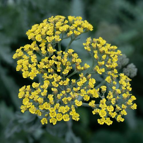 Yellow yarrow flowers, December
