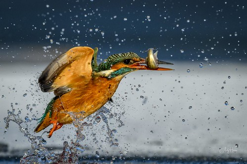 Ice Kingfisher catch (2 of 2)