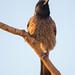 Red-vented Bulbul - Pycnonotus cafer by Jono Dashper Wildlife