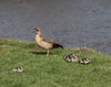 Egyptian goose with hatchlings