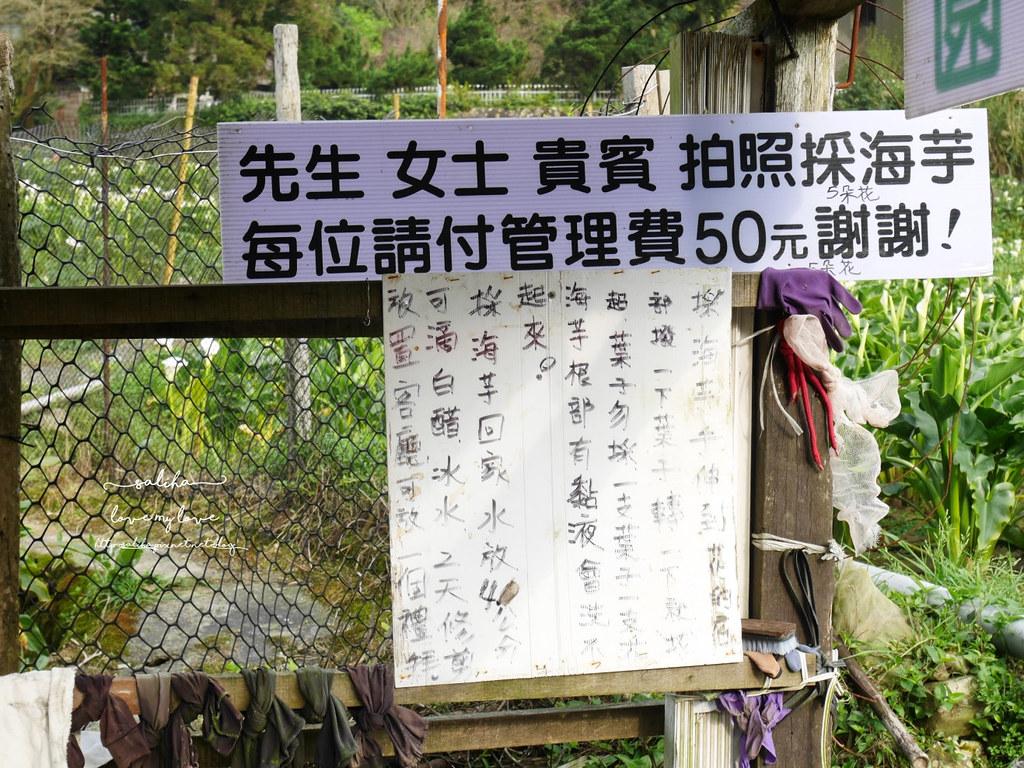 台北陽明山竹子湖海芋大道竹屯星海芋農園採海芋推薦價錢 (3)